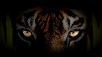 Amd Wallpapers 4k Hd Amd Eyes Of Tiger Wallpaper Background